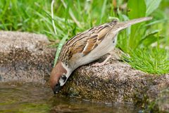 Drinking Tree Sparrow Royalty Free Stock Photos