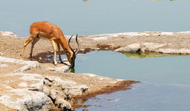 Drinking water. A red antelope drinking from an african water hole Royalty Free Stock Photos