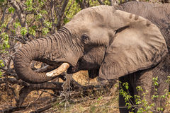 Drinking water Elephant. African Elephant is drinking water, close-up Royalty Free Stock Image