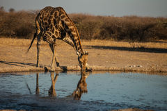 Drinking water Giraffe Royalty Free Stock Image