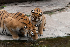 Drinking water tiger. Royalty Free Stock Photos