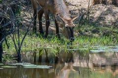 Drinking Waterbuck stock photo