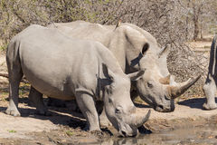 Drinking White Rhino Royalty Free Stock Photo