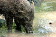 Drinking wild boar Stock Photos
