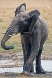 Drinking wild elephant at a waterhole. Stock Images