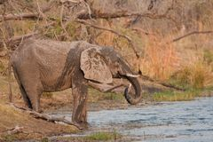 Drinking wild elephant at a waterhole. Royalty Free Stock Photography