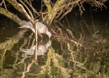 Drinking Woodpigeon and his reflection in water. Woodpigeon, Columba palumbus in Hainault forrest country park, England UK perched on a tree above lake, drinking royalty free stock photos