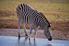 Drinking Zebra Royalty Free Stock Photos