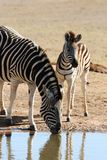 Drinking Zebra Mother and Baby royalty free stock photo