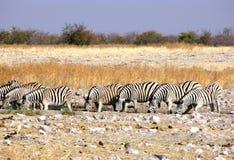 Drinking zebras Stock Image