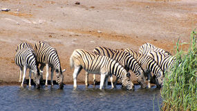 Drinking zebras Royalty Free Stock Images