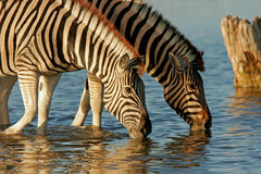 Drinking Zebras Royalty Free Stock Photos