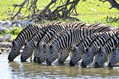 Drinking Zebras Royalty Free Stock Photo