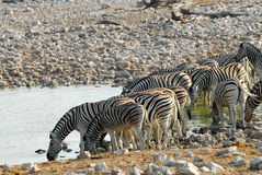 Drinking zebras. A group of zebras drinking from a water hole royalty free stock photography