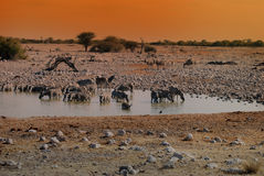 Drinking zebras at waterhole Stock Image