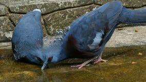 drinkt de Victoria bekroonde duif water op grond royalty-vrije stock afbeelding