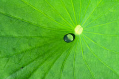 Drip. In the lotus leaf Stock Images