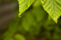 Drip on green leaf. Water drip on green leaf Royalty Free Stock Image
