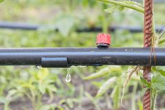 Drip irrigation on the bed. Seedlings of tomato prepared for planting on beds with drip irrigation stock photos