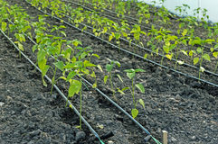 Drip Irrigation of Pepper Seedlings in the Greenhouse Royalty Free Stock Image