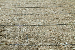 Drip irrigation pipe in old  sugarcane Stock Images