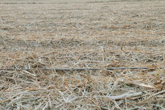 Drip irrigation pipe in old  sugarcane Royalty Free Stock Photos