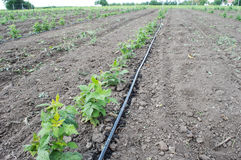 Drip Irrigation Stems of Raspberry with Water-hose. Drip Irrigation Stem of Raspberry with Water-hose. Raspberry seedlings are planted in neat rows during the Stock Photos
