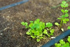 Drip irrigation system. Closeup of an organic cilantro vegetable plant using a drip irrigation system Stock Images