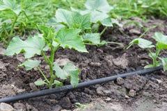 Drip irrigation system. Seedling vegetable beds with drip irrigation system Royalty Free Stock Images