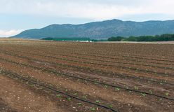 Drip irrigation system watering organic plants in the field. stock images