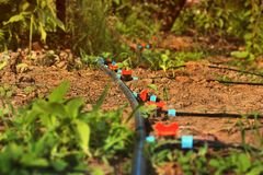 Drip irrigation system. Watering system in the garden stock photography