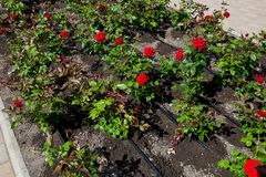 Drip irrigation, urban park infrastructure royalty free stock image