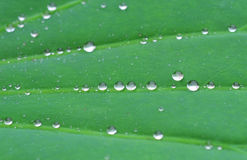 Drip in lotus leaf Stock Image