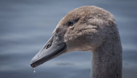 Dripping Baby Swan Stock Photography