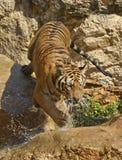 Dripping Bengal Tiger Splashing Down the Rocks Royalty Free Stock Photography