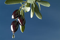 Dripping black olives. Drop of oil from three black olives on branch against blue sky Stock Image