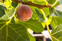 Dripping Ripe Fig On The Tree Royalty Free Stock Photography