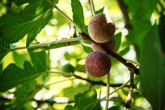 Dripping ripe fig on the tree, soft focus Royalty Free Stock Photo