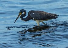 Dripping Tricolored Heron Stock Images
