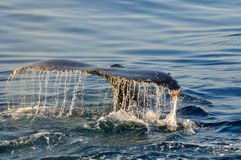 DRIPPING WET. A Humpback whale seen in Walker Bay, Hermanus, South Africa Stock Photo