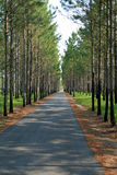 Drive. Very long driveway, with pine trees on both sides Royalty Free Stock Photography