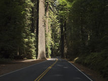 Drive through the California Redwoods Royalty Free Stock Image