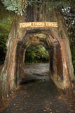 Drive through redwood tree Stock Photography