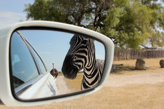 Zebra. A zebra approaches while an ostrich follows the car on this drive through safari / zoo Stock Photography