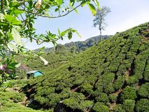 Tea Plantation in the Hills of Cameron Highlands Malaysia stock images