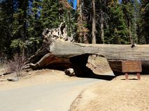 Free Drive Through Tunnel Log - Redwood Forest, Sequoia National Park, California Stock Images - 121198124