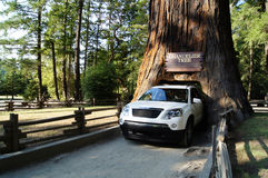 Drive Through Tree. Drive-through tree in the California Redwoods Stock Photos