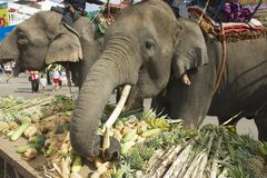 Drivers feed elephants at Elephant Buffet in Surin, Thailand. Royalty Free Stock Photos