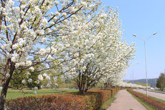 Driveway with blooming apple trees Stock Image
