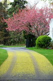 Driveway cherry tree blossom Royalty Free Stock Photos